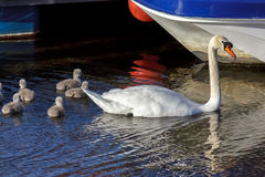 NAIRN, SCOTLAND/UK - 20. MAI: Höckerschwan (Cygnus olor) mit cygne Lizenzfreie Stockfotos