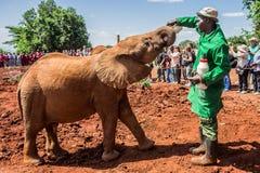 NAIROBI, KENIA - 22. JUNI 2015: Eine der Arbeitskräfte, die einen jungen orphant Elefanten mit Milch einziehen stockfotos