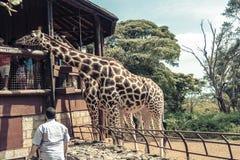 Nairobi/Kenya - APRIL 10, 2017; Giraffmitt royaltyfria bilder