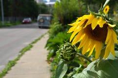 Naissance d'été des fleurs de Sun photos libres de droits