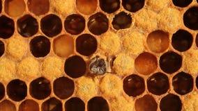 Naissance d'abeille banque de vidéos