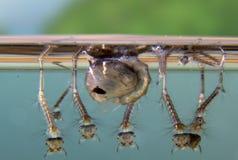 Naissance d'un moustique Images libres de droits