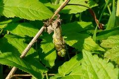 Naissance d'une libellule Photos libres de droits