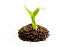 Naissance de concept de la pousse d'idée du sol sur le fond blanc Photo libre de droits