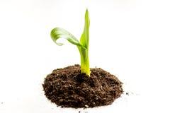 Naissance de concept de la pousse d'idée du sol sur le fond blanc Photographie stock libre de droits