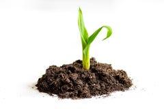 Naissance de concept de la pousse d'idée du sol sur le fond blanc Photo stock