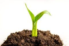 Naissance de concept de la pousse d'idée du sol sur le fond blanc Image libre de droits