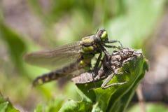 Naissance du dragonflie Images libres de droits