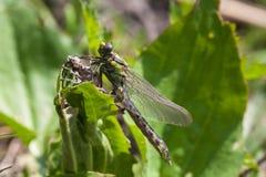 Naissance du dragonflie Photographie stock