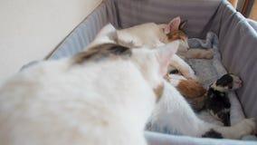 Naissance féline Le chat a donné naissance aux chatons Un chat lave ses enfants Le chat lèche les chatons juste après la naissanc clips vidéos