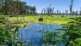 Naivasha jezioro Obrazy Royalty Free