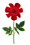 Naive stylized red rose flower. Isolated on white Stock Image