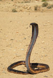 Naja haje. Cleopatras Asp or Egiptyan Cobra (Naja haje) in rocky desert of Atlas Mountains, part of its distribution range (Northern Africa on the border between Stock Image