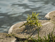 Najas marina jeziorem caldaro_near Zdjęcia Royalty Free