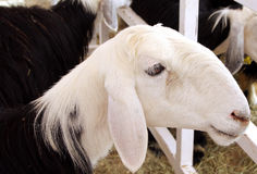 Najdi, a beautiful arabian sheep Stock Photography
