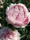 Najlepszy różowe peonie obrazy stock