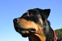 Najlepszy Rottweiler Zdjęcie Royalty Free