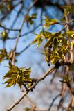 najpierw delikatna liść wiosna Zdjęcia Stock