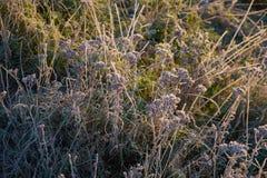 Najpierw oszronieję w jesieni, mróz na trawie Obraz Stock