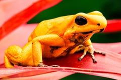Najwięcej jadowitych jad strzałki żaby Phyllobates terribilis fotografia royalty free