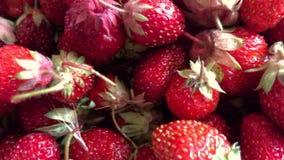 Najwięcej wyśmienicie czerwonych truskawek zbiory