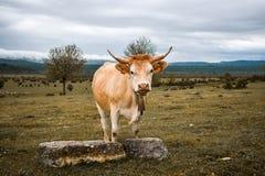 Nakładająca krowa w polu zdjęcia royalty free
