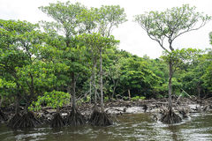 Nakama河的美洲红树森林在西表岛海岛 库存图片