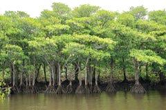 Nakama河美洲红树森林  免版税图库摄影
