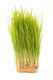 nake wheatgrass 免版税库存照片