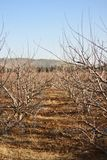 Naked apple trees. Apple trees on winter time Stock Images