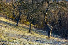 Naked apple trees in orchard at sunrise. Grassy hill in morning hoar. dull and boring scene of late autumn nature royalty free stock photos