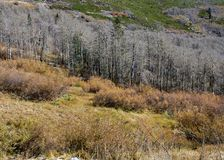 Naked Aspen trees in Nevada in the Fall Royalty Free Stock Photography