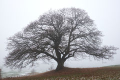 Naked big oak tree in the haze Royalty Free Stock Image