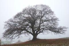 Naked big oak tree in the haze Royalty Free Stock Image