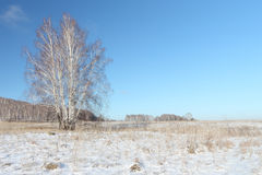 The naked birch standing on a snow glade in the winter Royalty Free Stock Images