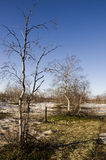 Naked birch trees and blue sky in the early spring. Snow in some places Stock Images