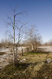Naked birch trees and blue sky in the early spring. Snow in some places Stock Image