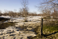 Naked birch trees and blue sky in the early spring. Snow in some places Stock Photography