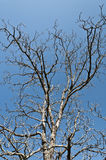 The naked branches. Of a tree under the blue sky Stock Photos