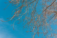 Naked branches of a deciduous tree against the blue sky. trend colors. For sites background stock images