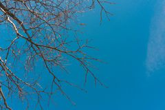Naked branches of a deciduous tree against the blue sky. trend colors. For sites background. Naked branches of a deciduous tree against the blue sky. For sites royalty free stock photo