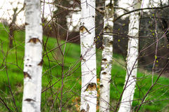 Naked branches, springtime in the forest Royalty Free Stock Images