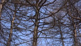 Naked Branches of a Tree Against Blue Sky Close Up, Panoraming. 4K UltraHD, UHD. Naked  Branches of a Tree Against Blue Sky Close Up, Panoraming. 4K UltraHD, UHD stock video footage