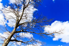 Naked branches of a tree against blue sky with cloud close up Stock Photography