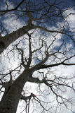Naked Branches in winter Royalty Free Stock Photo