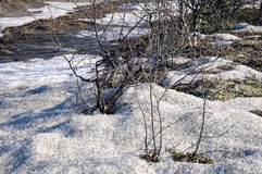 Naked bushes on the snow. Early spring Stock Photo