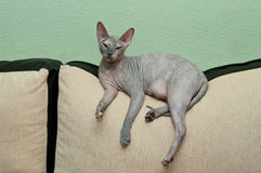 Naked cat on sofa Royalty Free Stock Images