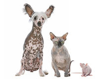 Naked Dog,Cat and Rat Stock Photo