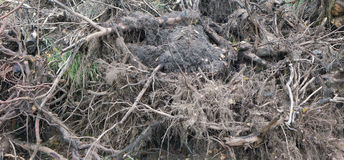 Naked forest wood roots Royalty Free Stock Images