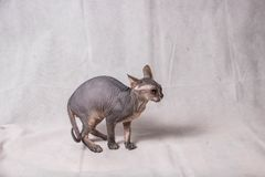 Naked gray Sphinx cat in various funny poses on a white background royalty free stock image
